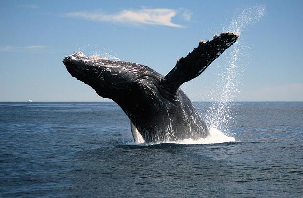 bigstock_Adult_Humpback_Whale_Breaching_4905620