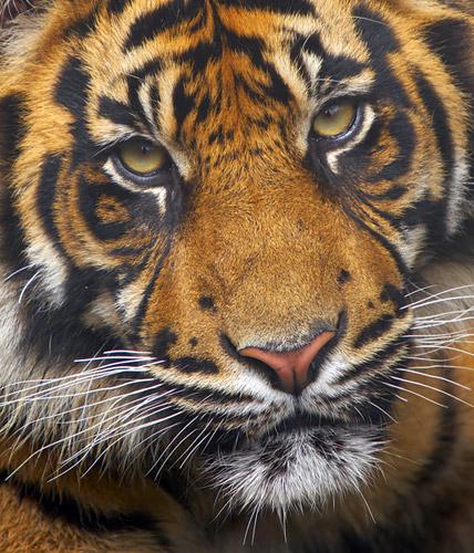 bigstock_Endangered_Sumatran_Tiger_1618546