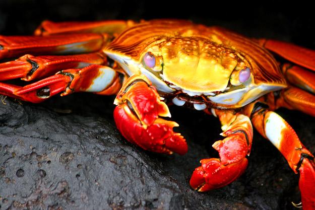 bigstock_Galapagos_Crab_2883631