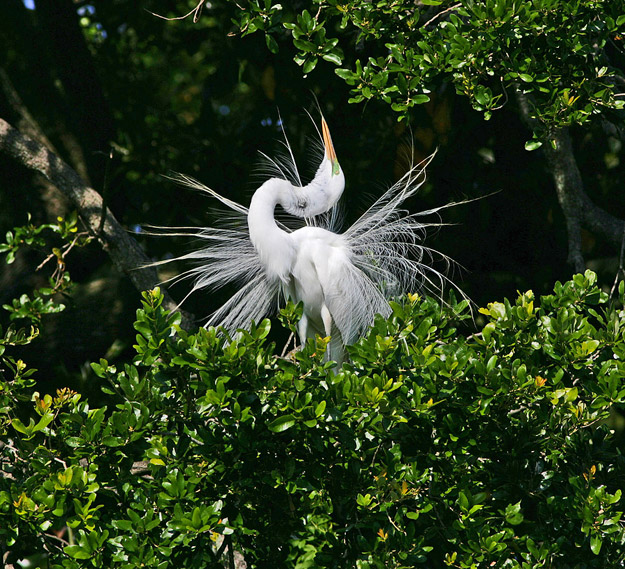 bigstock_Great_White_Egret_381087
