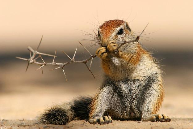 bigstock_Ground_Squirrel_569425