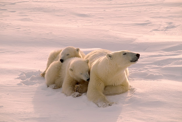 bigstock_Polar_Bear_With_Her_Cubs_Filte_2279615
