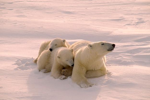 bigstock_Polar_Bear_With_Her_Cubs_Filte_2279615