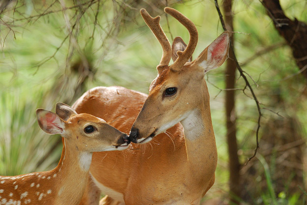bigstock_Whitetail_Buck_And_Fawn_Bondin_3433325
