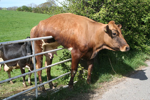 Stock Photo of a Cow Stuck on a Fence
