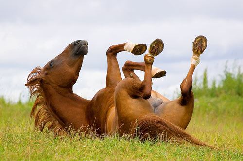 Stock Photo of a Horse Lying on its Back