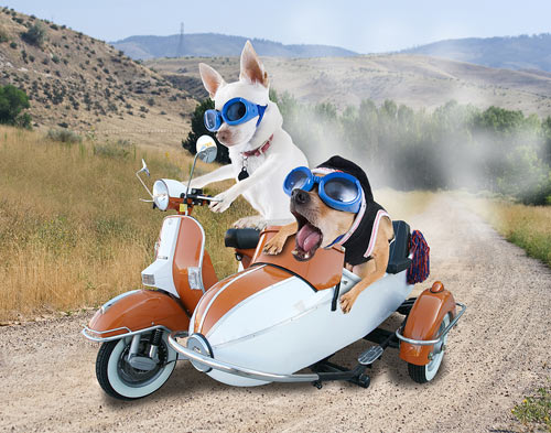 Stock Photo of two chihuahuas riding in a scooter