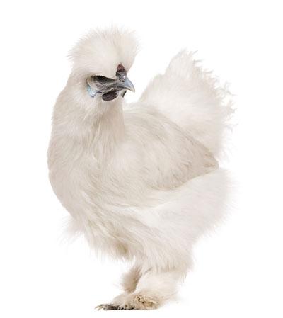 Silky_Chicken