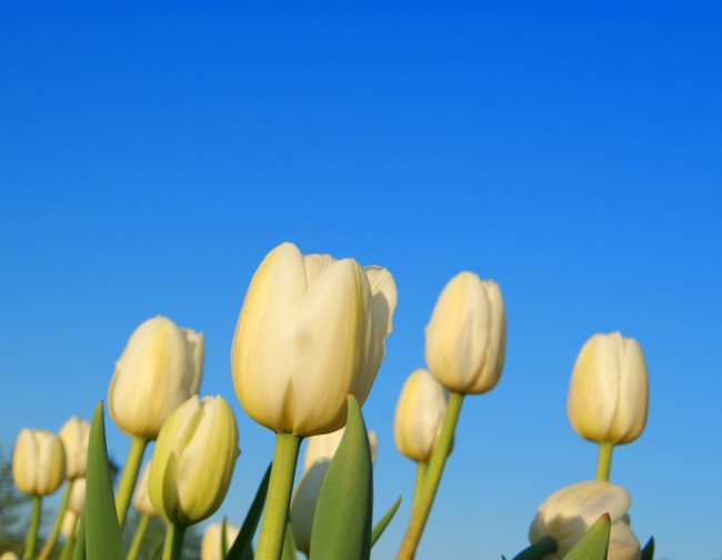 Group of white tulips on clear sky background