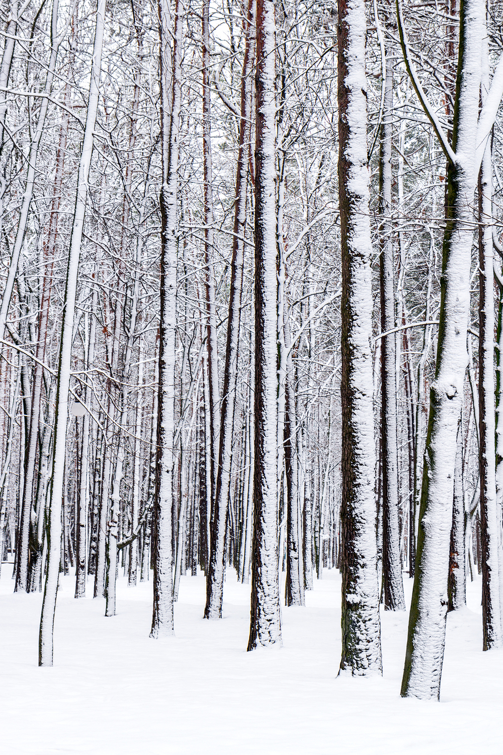 bigstock-Winter-Forest-56265137(1).jpg