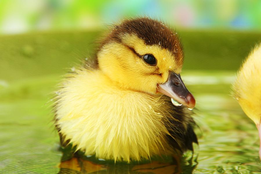 bigstock-Cute-ducklings-swimming-on-br-45900070.jpg