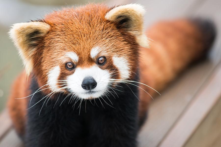 bigstock-Red-Panda-64558774.jpg