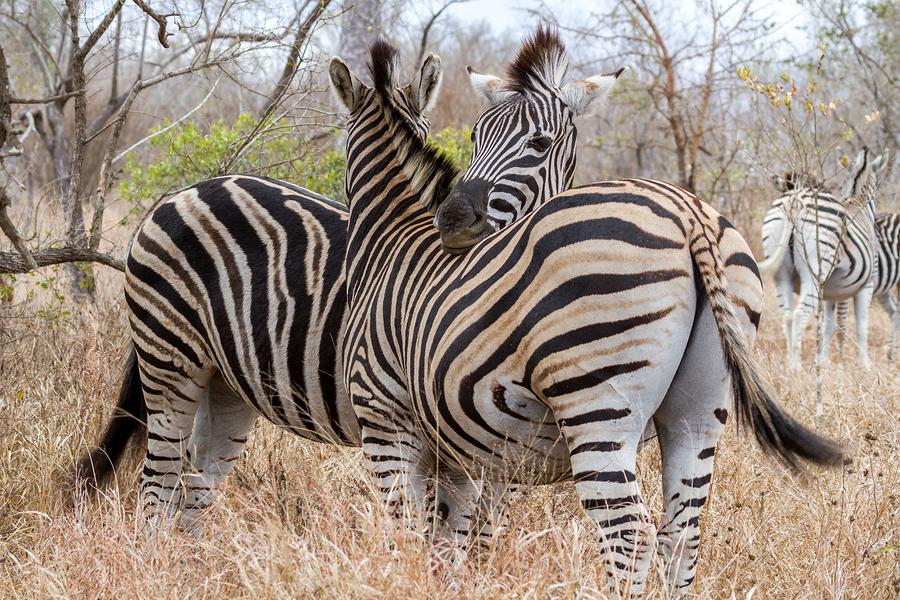 bigstock-Zebras-Cuddling-At-Kruger-Nati-75087544.jpg