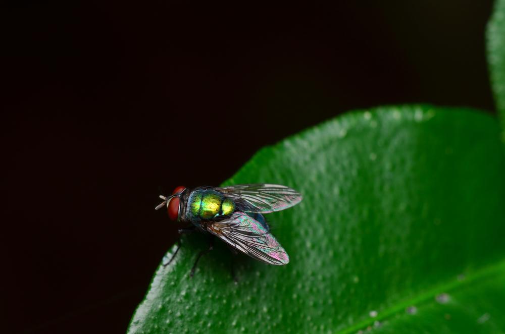 bigstock-opalescant-fly-62142122.jpg