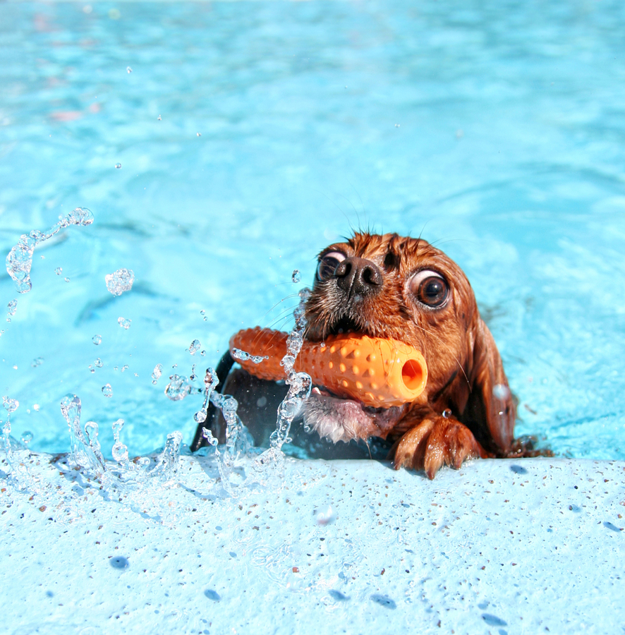 Stock photo of dog in swimming pool by graphicphoto.