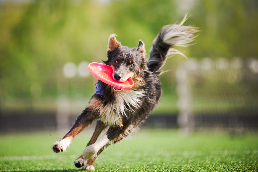 Stock photo of dog with frisbee by  Ksuksa .