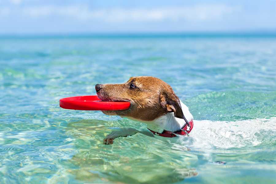 Stock photo of dog in pool with frisbee by Javier Brosch.