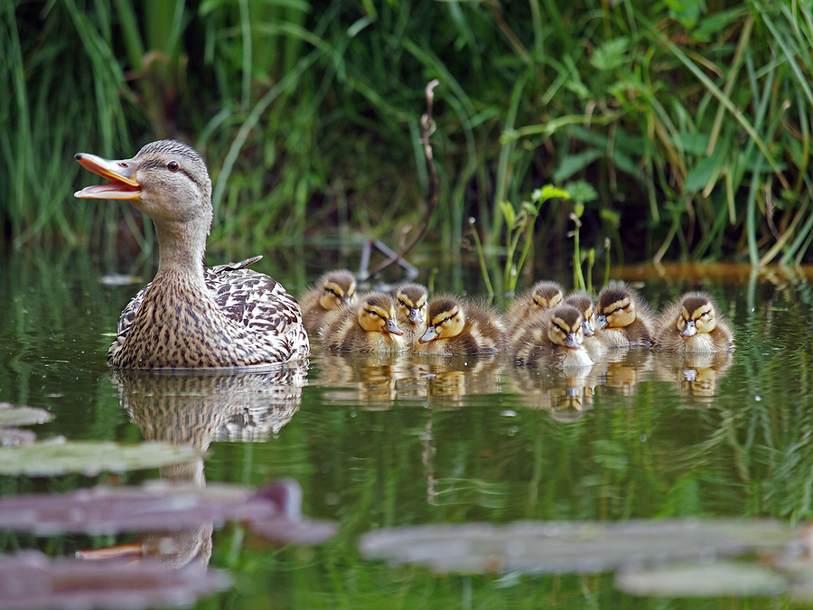 Mother duck and her baby ducks by Anolis