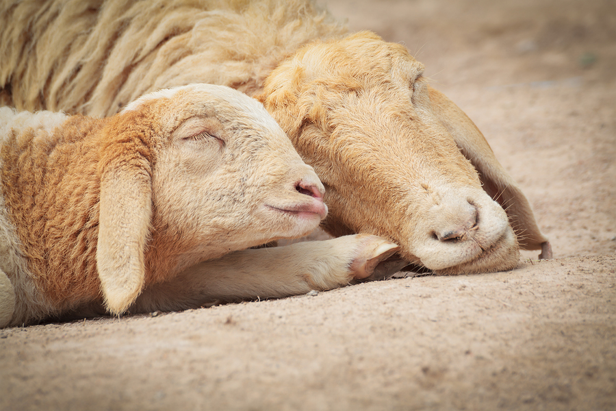 Mother and baby lamb sleeping by ceazars