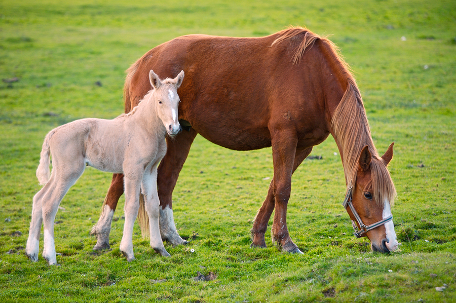Mother and son horses eating grass by Gelpi