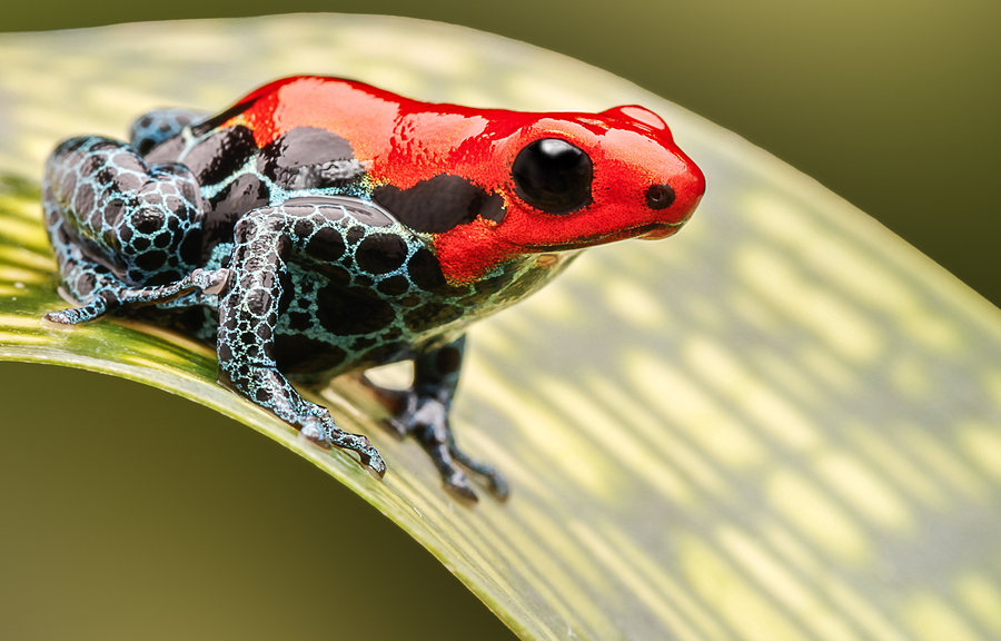 Image of red poison arrow frog