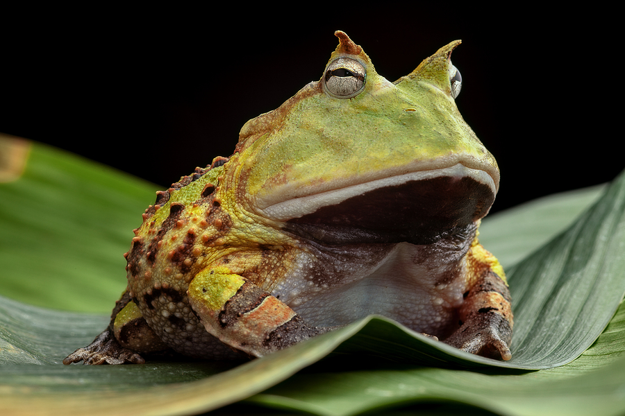 Image of Pacman frog/toad