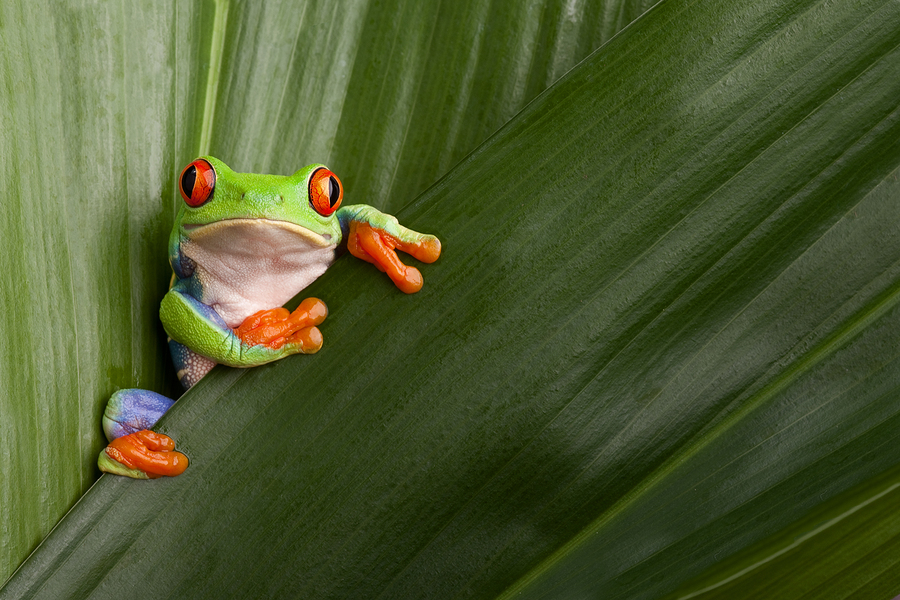 Image of curious red eyed frog on green leaf background