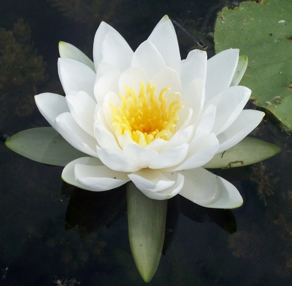 Stock photo of a water lily.
