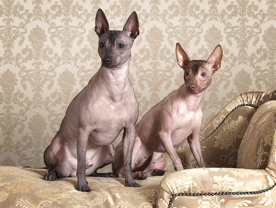 Mexican Xoloitzcuintle Dogs by alkir