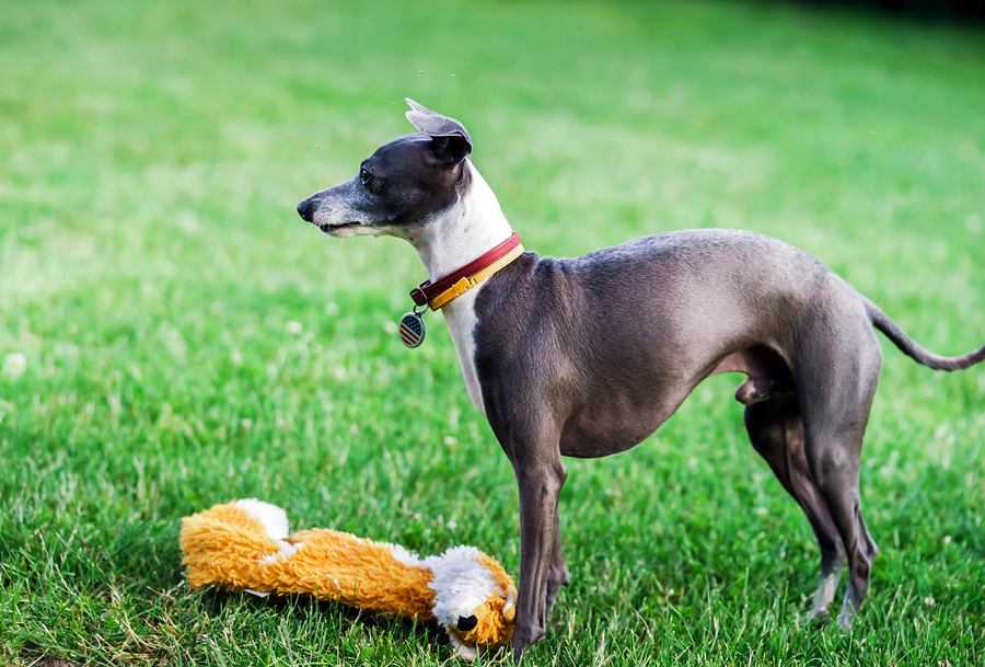 Italian Greyhound by bonzodog
