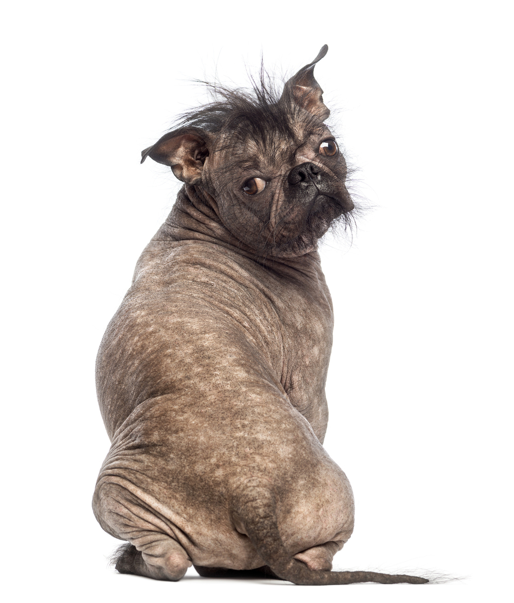Rear view of hairless mixed breed dog by   Life on White