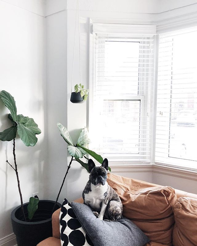 Thankfully I'm better with dogs than plants. While @theadventuresofarrow thrives, that sad fiddle fig tree has been clinging to life for years with little to no improvement no matter what I do... maybe it's my involvement that's the problem? (Also see: north-facing houses.) . . . #haus279 #fiddleleaffig #plants #theadventuresofarrow #frenchbulldog #pug #bostonterrier #frug #froston #frenchton #frugston #bugg #designwitheq3