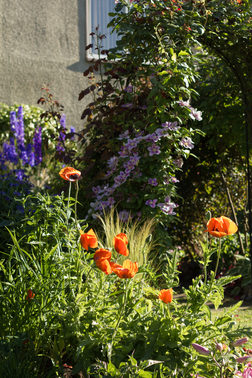 2. This beautifully tended garden at the corner of 10th and Fir is filled with English garden favourites, poppies, delphiniums and clematis.