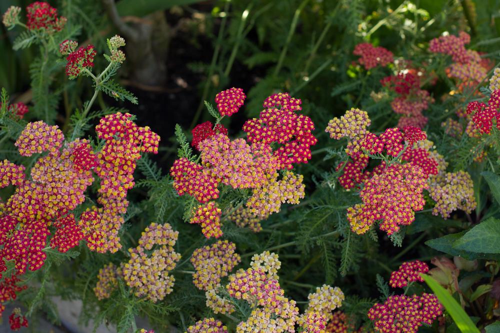 2. A pretty red variety of Yarrow  (Achillea millefolium)