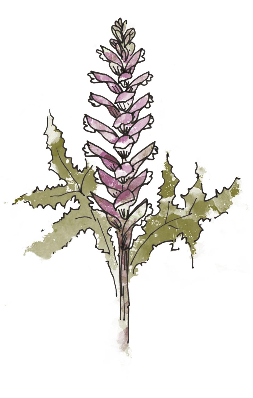 8. Acanthus mollis - illustration by  Zenija Esmits