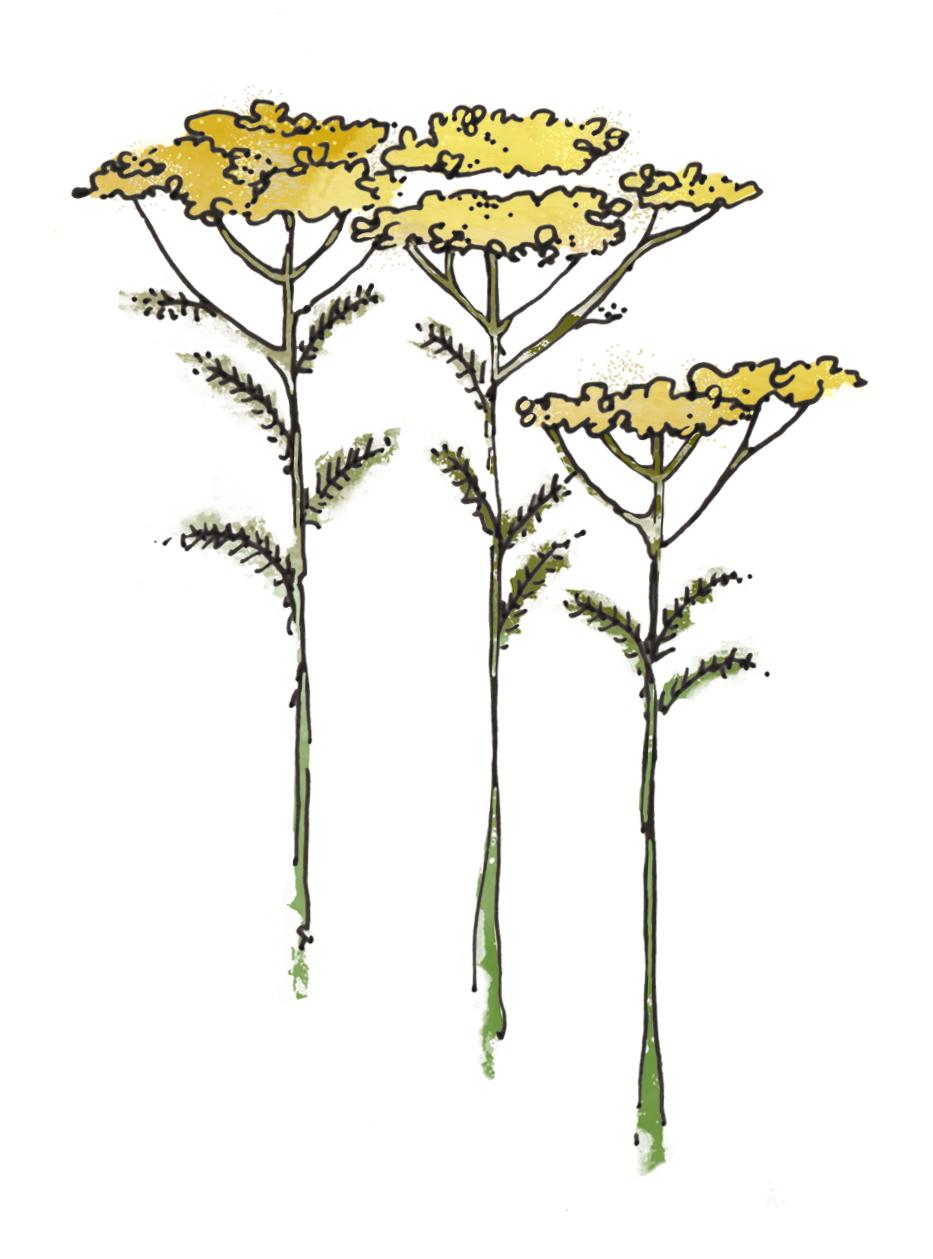 2. Yarrow (Achillea millefolium) - illustration by  Zenija Esmits