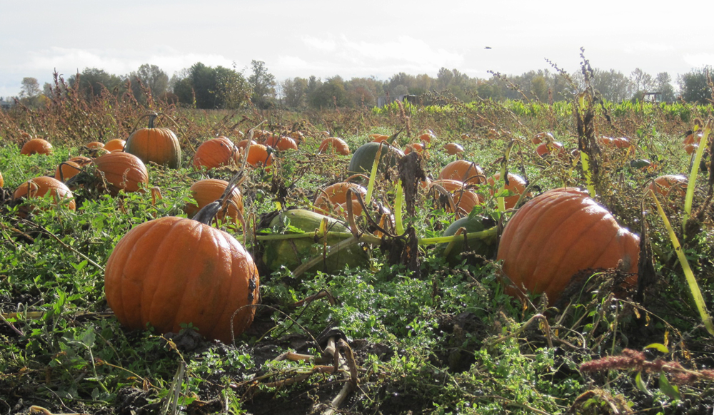 This is not an SG pumpkin patch . . . but it could be.