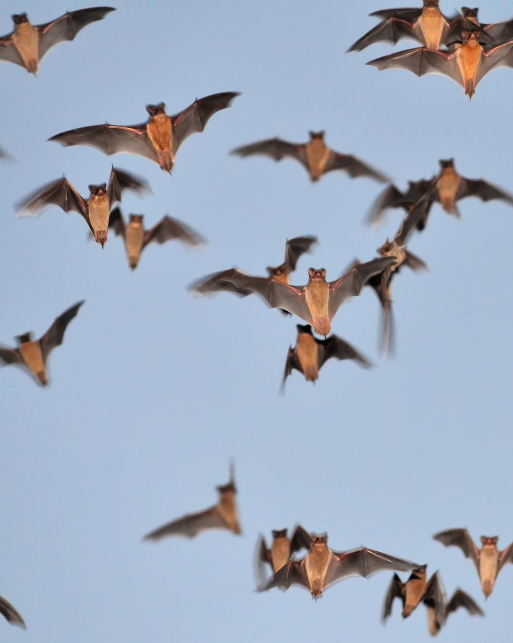 Mexican Freetail Bats