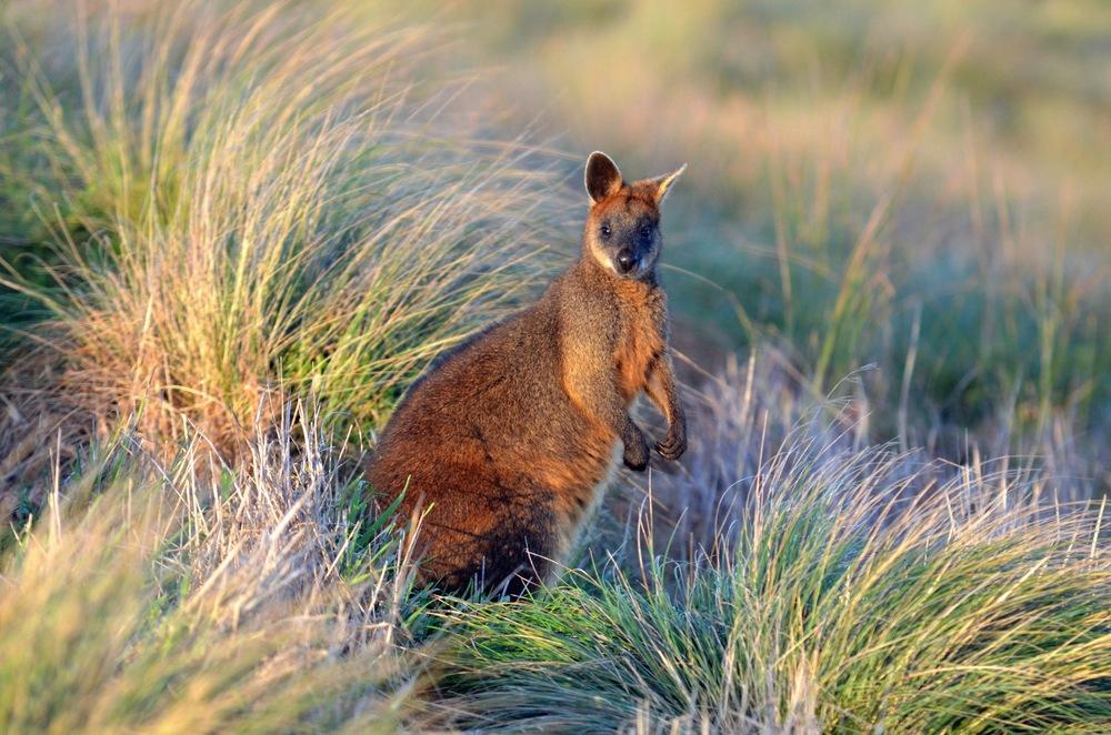 Wallaby, Victoria, Australia