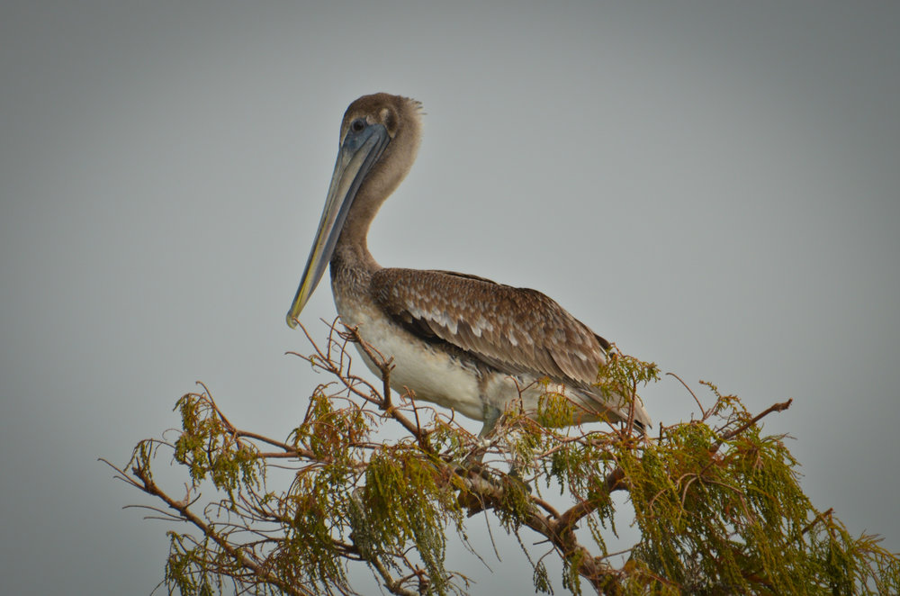 Pelican at Sabine, Louisiana