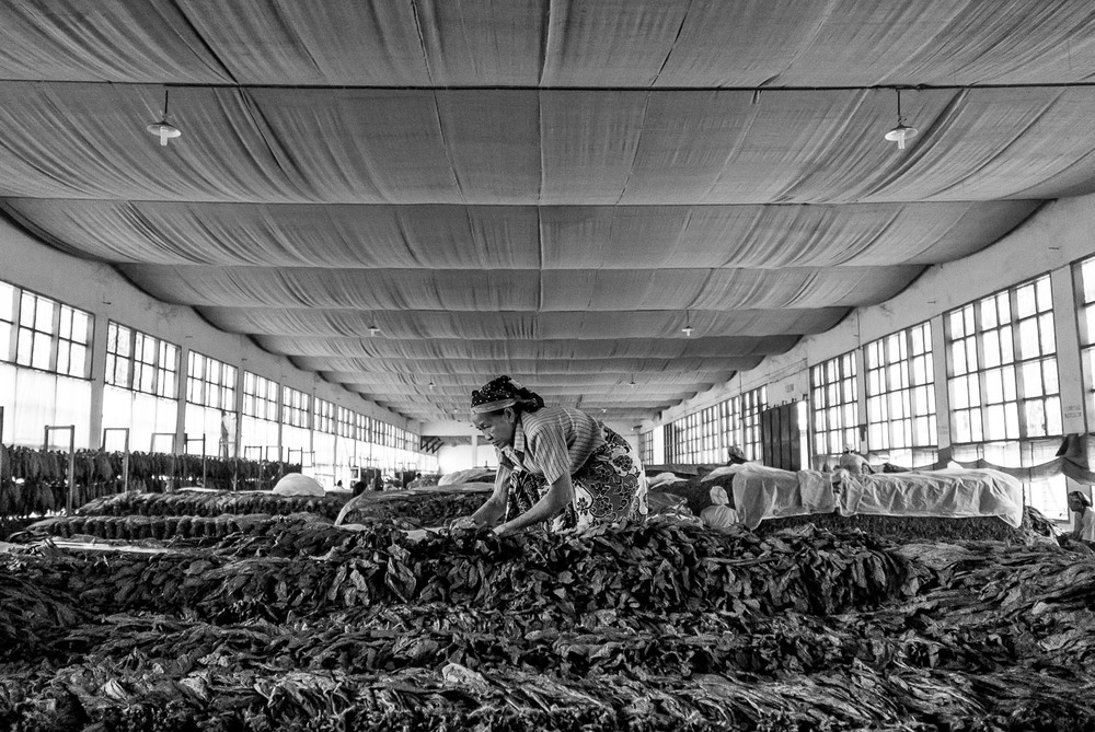 A woman sorts Tobacco leaves in East Java, shot using 24mm f/4.5 aperture