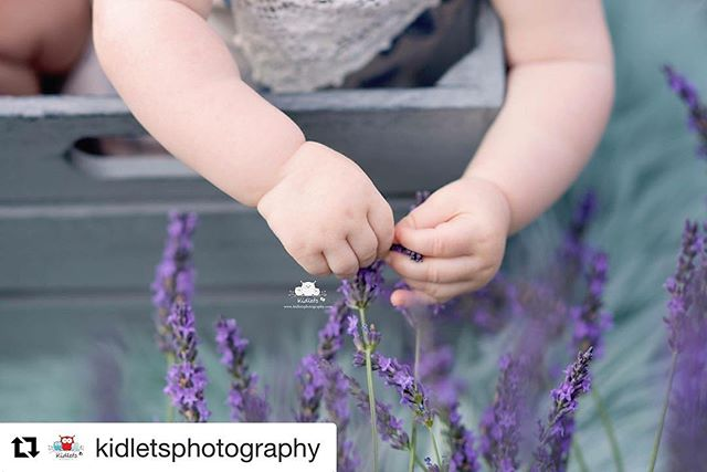 We love this photo taken by @kidletsphotography ! Those sweet arms and hands are too much!  #Repost @kidletsphotography (@get_repost) ・・・ ~Lavender~ #kidletsphotography #orangevillephotographer #shelburnephotographer #dundalkphotographer #allistonphotographer #collingwoodphotographer #mulmur #lavender #lavenderfeilds #babyhands #babyphotographer #dawnbrooklavender