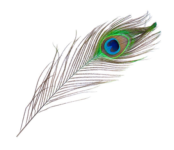 gift wrap with signature peacock feather homestyle rh homestyleri com peacock feather peacock feather meaning