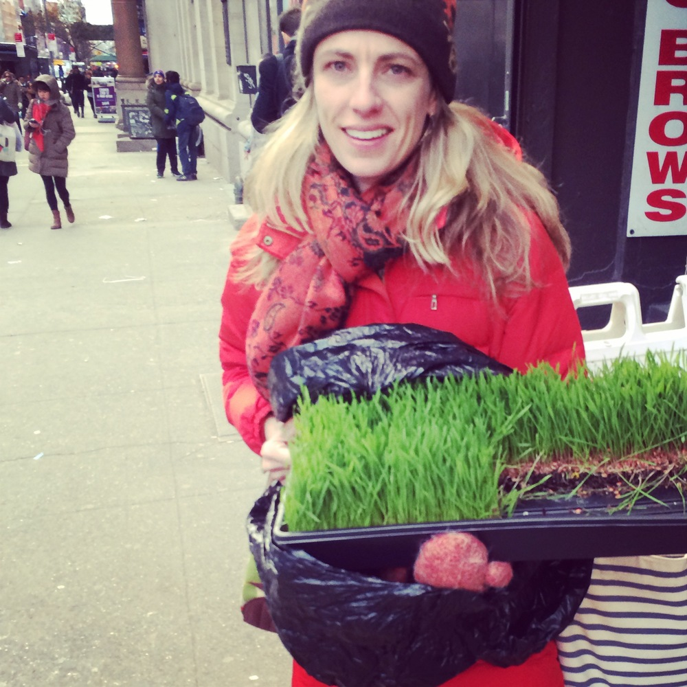 Wheatgrass procured! NYC flower district does it again.