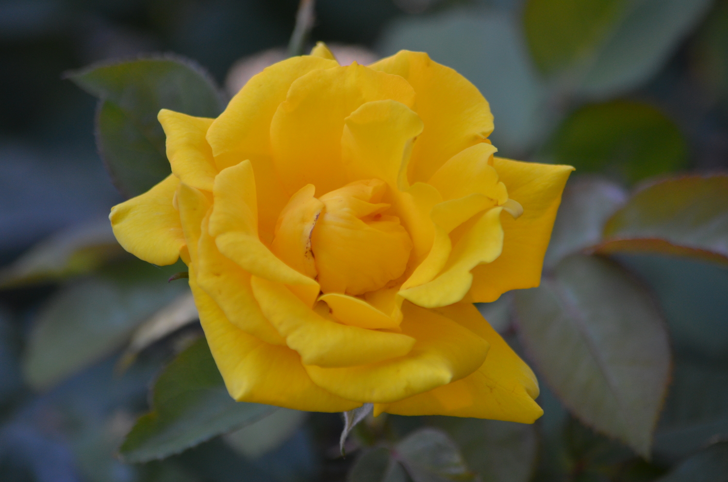 Yellow Rose Chapter of the EGA