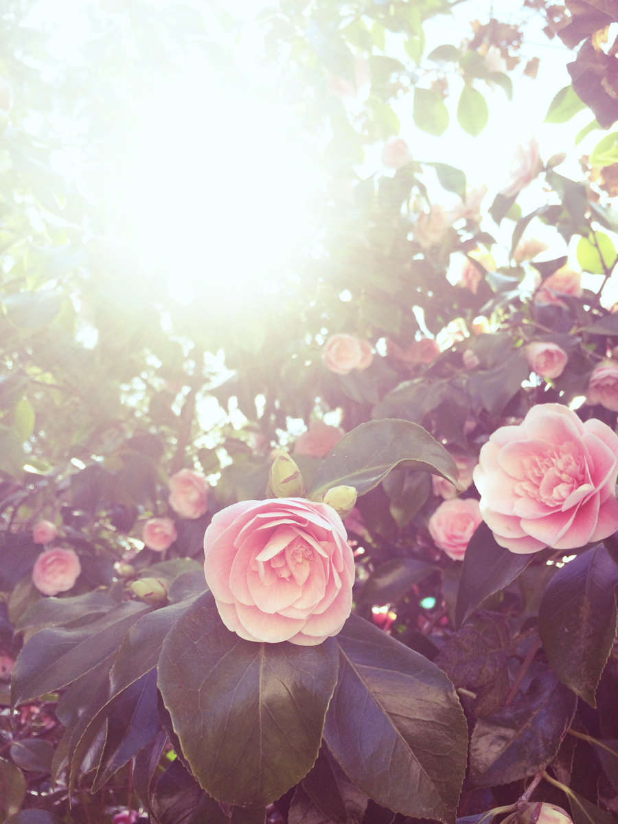 my dear camellias*