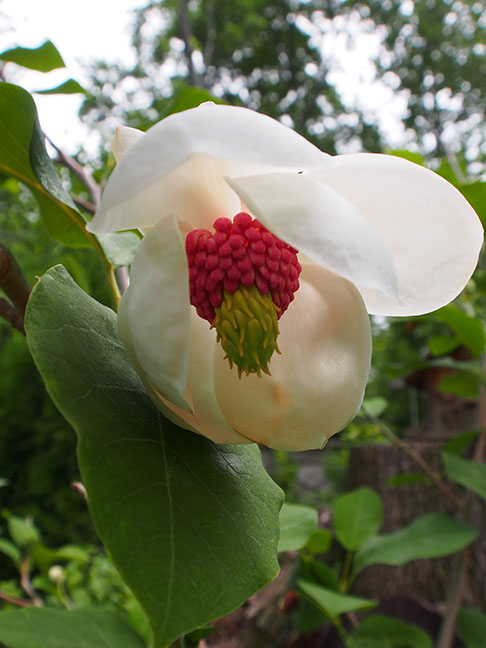 Magnolia    sieboldii  'Colossus'  blooms later than standard varieties. The large cup-shaped blossoms entice you closer to reveal a lovely scent and rose stamens.