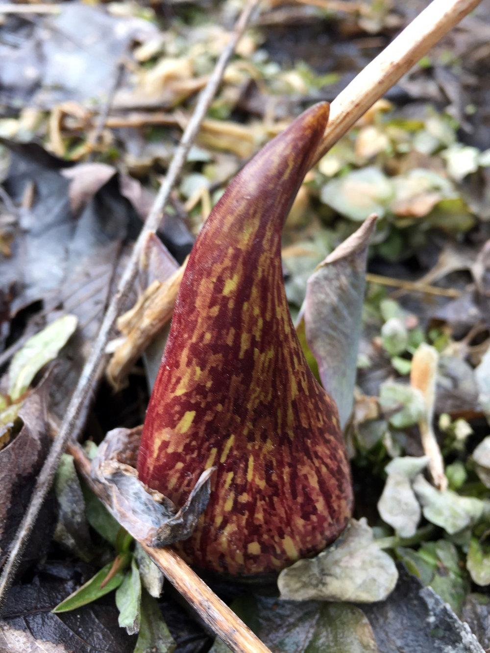 Symplocarpus foetidus  - Eastern Skunk Cabbage