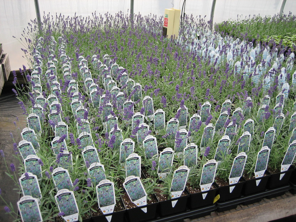 4.5 LavenderB 06.JPG