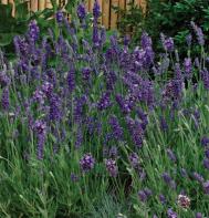 Lavender Hidcote Blue.jpg